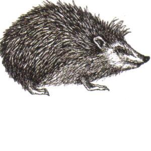 Bild von einem schwarz-weiß gezeichneten Igel